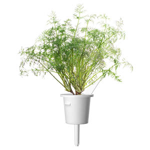 Dill Click and Grow