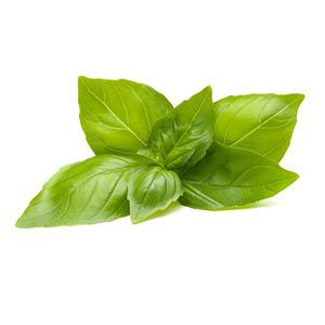 Zitronenbasilikum Pflanze