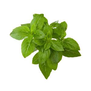 Zwergbasilikum Pflanze