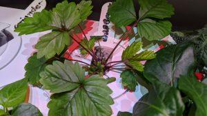 Smart Garden Algen
