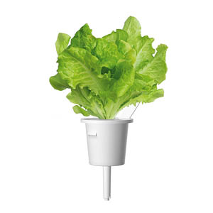 Kopfsalat Indoor Garten
